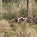 Siguen creciendo las poblaciones de Osos Hormigueros en el Parque Nacional Iberá