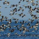 Se pone en marcha el Plan Nacional para Conservar a las Aves Playeras en Argentina